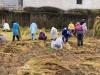 雨の中、小学校の稲刈り体験で魚沼産コシヒカリを刈ってきました!